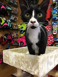 American Shorthair Cat for adoption in Scottsdale, Arizona - Larry