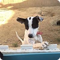 Adopt A Pet :: Cherise - BONITA, CA