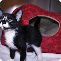 Domestic Mediumhair Kitten for adoption in Lumberton, North Carolina - Civic