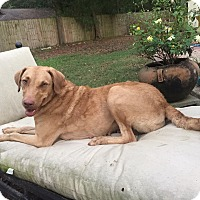 Chesapeake Bay Retriever Mix Dog for adoption in Wellesley, Massachusetts - Chelsea