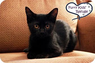 Domestic Shorthair Kitten for adoption in Lee's Summit, Missouri - Potter