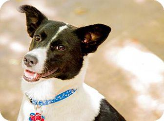 Border Collie Mix Dog for adoption in Winter Park, Colorado - Angel