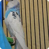 Adopt A Pet :: Ashitaka - Englewood, FL