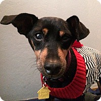 Miniature Pinscher Mix Dog for adoption in Clayton, California - Roxy Autumn