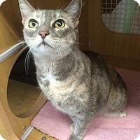 Domestic Shorthair Cat for adoption in Los Angeles, California - Normandy