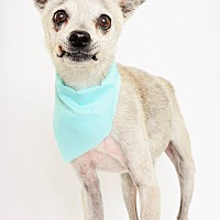 Greyhound/Chihuahua Mix Dog for adoption in Phoenix, Arizona - Monty
