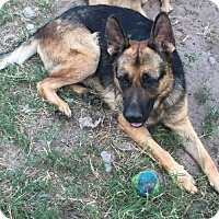 German Shepherd Dog Dog for adoption in Lithia, Florida - NOBLE