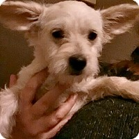 Chihuahua/Terrier (Unknown Type, Small) Mix Puppy for adoption in Crossville, Tennessee - Cash - Adoption Pending