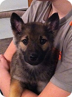 Norwegian Elkhound/German Shepherd Dog Mix Puppy for adoption in West ...