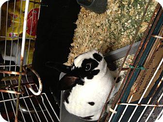 Mini Rex for adoption in Lower Burrell, Pennsylvania - Domino
