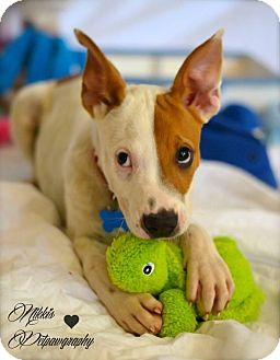 Cattle Dog Mix Puppy for adoption in Gilbert, Arizona - Hendrix