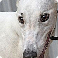 Adopt A Pet :: Tempo - Santa Rosa, CA