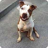 Adopt A Pet :: Javelin - Shavertown, PA