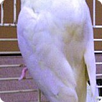 Adopt A Pet :: Sweetie - Shawnee Mission, KS