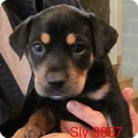 Adopt A Pet :: Sly - baltimore, MD
