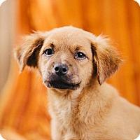 Adopt A Pet :: Rosy - Portland, OR