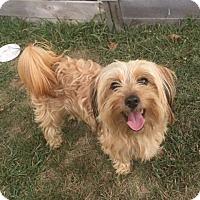 Adopt A Pet :: Sawyer - Newtown, CT