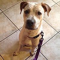 Adopt A Pet :: ZELDA 2 - Chandler, AZ