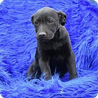 Adopt A Pet :: Leda - Groton, MA