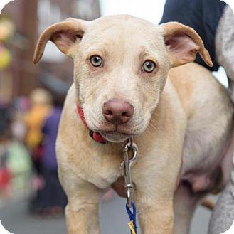 Labrador Retriever/Terrier (Unknown Type, Medium) Mix Dog for adoption in Centreville, Virginia - Dandelion - Adoption Pending