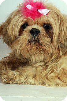 Shih Tzu Dog for adoption in St. Louis, Missouri - Camo Shih Tzu