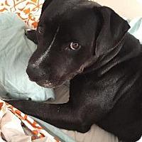 Adopt A Pet :: SHEBA - Pt. Richmond, CA