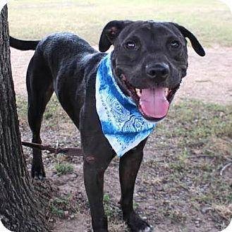 Labrador Retriever Mix Dog for adoption in Austin, Texas - Loki