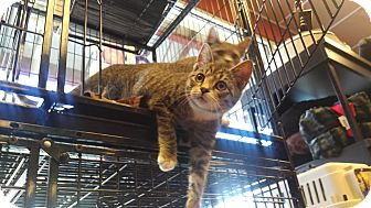 Domestic Shorthair Kitten for adoption in Exton, Pennsylvania - Bonnie