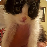 Domestic Mediumhair Kitten for adoption in Exton, Pennsylvania - Ginny