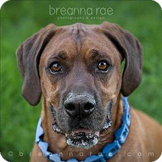 Basset Hound/Boxer Mix Dog for adoption in Sheboygan, Wisconsin - Arnold