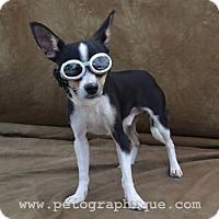 Adopt A Pet :: Rolf - Las Vegas, NV