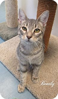 Domestic Shorthair Cat for adoption in Jackson, New Jersey - Bently