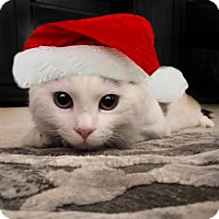Domestic Shorthair Kitten for adoption in Atlanta, Georgia - Romeo162112