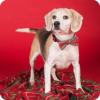 Beagle Mix Dog for adoption in Northbrook, Illinois - Jennings
