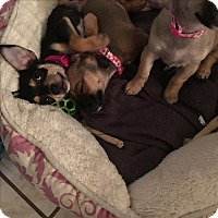 Adopt A Pet :: Bailey(chiweenie) - Santa Ana, CA