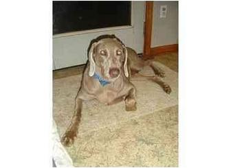 Weimaraner Dog for adoption in Attica, New York - Lacey