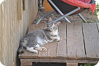 Domestic Shorthair Cat for adoption in Anton, Texas - Persefani