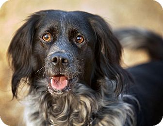 Spaniel (Unknown Type) Mix Dog for adoption in Alexandria, Virginia - Fisher
