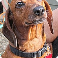 Adopt A Pet :: ROXIE DOXIE - Portland, OR
