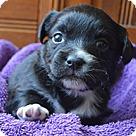 Adopt A Pet :: Brianna's Pup Beijing