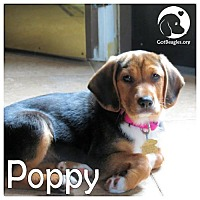 Adopt A Pet :: Poppy - Novi, MI