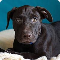 Adopt A Pet :: Shilo - Waldorf, MD