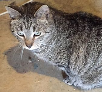 Domestic Shorthair Cat for adoption in Morganton, North Carolina - Mr. Bates