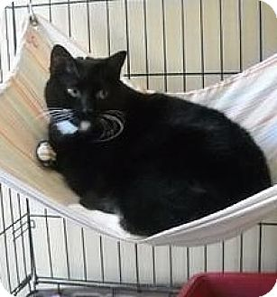 Domestic Shorthair Cat for adoption in Freeport, New York - Madison