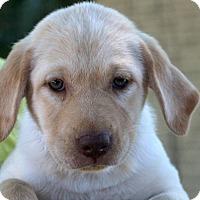 Adopt A Pet :: Cinnamon~meet me~ - Glastonbury, CT