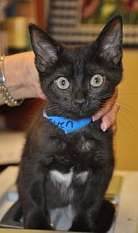 Domestic Shorthair Kitten for adoption in Pompano Beach, Florida -