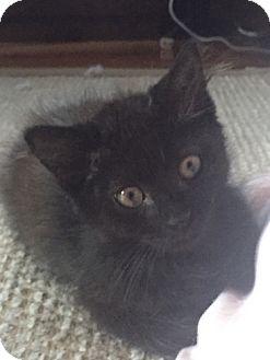 Domestic Longhair Kitten for adoption in Oakland Park, Florida - Kipu