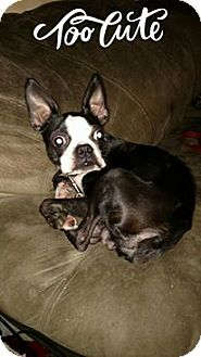 Boston Terrier Dog for adoption in WOODSFIELD, Ohio - DEXTER ( tiny & very active)