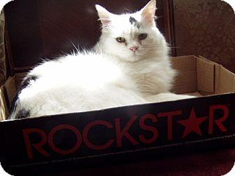 American Shorthair Kitten for adoption in Hopkinsville, Kentucky - Rockstar