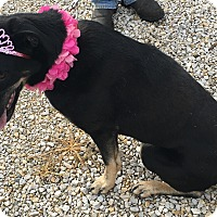 German Shepherd Dog/Labrador Retriever Mix Dog for adoption in Loogootee, Indiana - Milah-REDUCED ADOPTION FEE